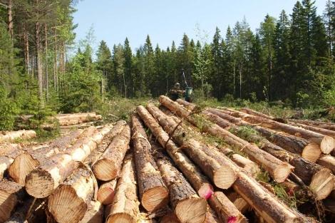 Tala de árboles en un bosque cercano a Umea. | T.G.