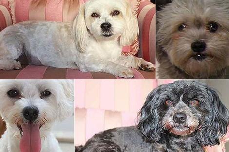 Los perros secuestrados de Ian Lazar.   Sydney Morning Herald