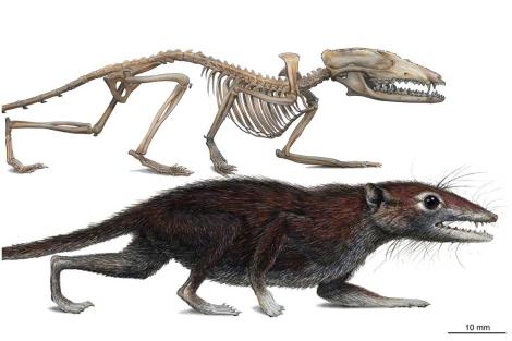 Reconstrucción de 'Juramaia sinensis'. | M. A. Klinger|Carnegie Museum. of Natural History.