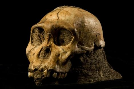 Fósil del cráneo de 'Australopithecus sediba'.   Science