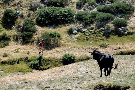 Un toro contempla a un caminante en Ventisquero de la Condesa.| Alfredo Merino
