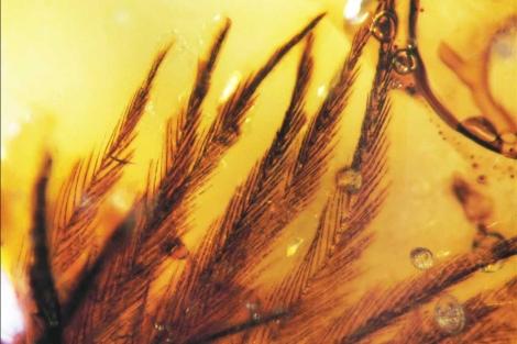 Imagen de las plumas del Cretácico conservadas en ámbar. | Science