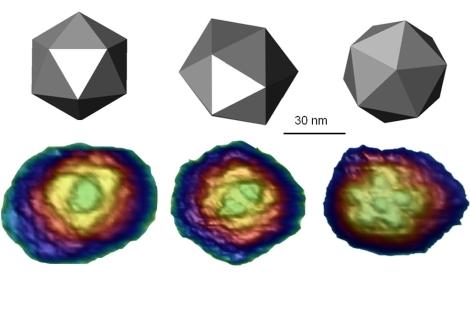 Imágenes in vitro del virus diminuto del ratón, mostrando las tres simetrías icosahédricas.