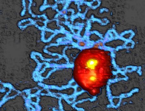 Virus bacteriófago que ha expulsado parte de su ADN. | P. J. de Pablo.