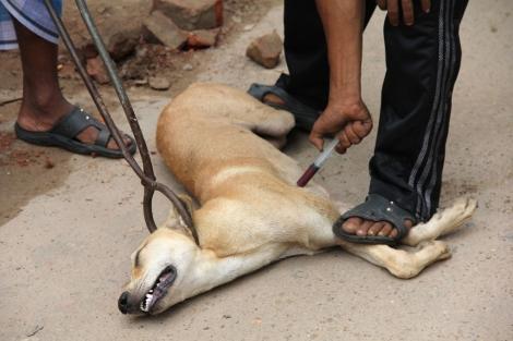 Tras ser capturado con tenazas, un perro es sacrificado con mediante una inyección de veneno en Bangladesh.   WSPA.