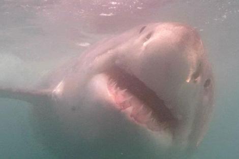 Tiburón blanco, captado el pasado 16 de septiembre en la costa de Sudáfrica.|Juan Pablo Barranco