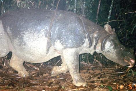 El último ejemplar del rinoceronte de Java en Vietnam.   WWF