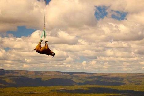 Operación de traslado de los rinocerontes. | Michael Raimondo ( Green Renaissance WWF)
