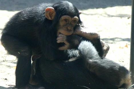 Dos chimpancés jugueteando durante un sesión. | 'PLoS One'
