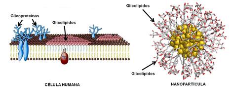 Izq. Carbohidratos en la superficie de las células. Dch. Gliconanopartícula de oro. | S. Penadés