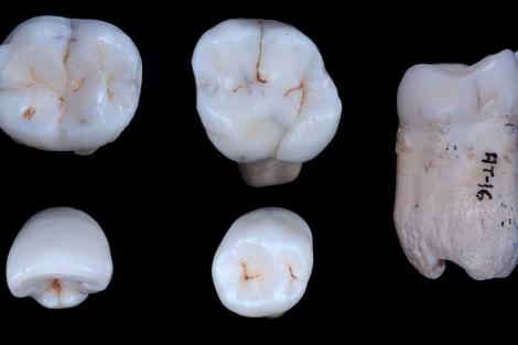 Algunos de los dientes de la Sima de los Huesos analizados. | CENIEH