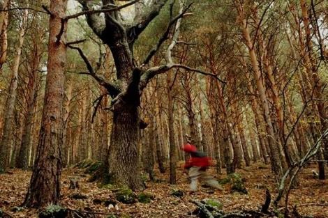 El Rebollo de la Maleza en mitad del pinar.| Marga Estebaranz