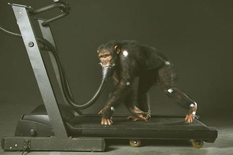 Un chimpancé camina sobre una cinta de entrenamiento mientras le miden su consumo de oxígeno en un experimento.   C. Wolynsky   PNAS