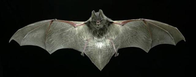 Murciélago de bosque (Barbastella barbastellus). | Museu de Ciències Naturals de Granollers