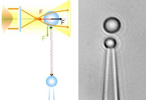 Una sola molécula de ADN entre dos microesferas.   R. Arias-González y S. Hormeño.