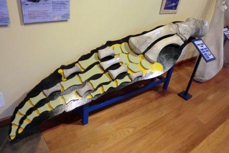 Algunas ejemplares, como este fósil marino de cetáceo, tienen 15 millones de años. | R.S.