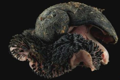 Caracol abisal encontrado por la expedición.   David Shale