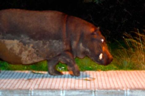 El animal deambulando por las calles de Marratxí. | Vecinos Son Ramonell