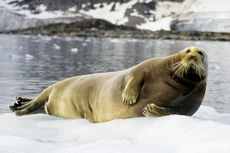 Una foca adulta sobre el hielo ártico.   New Atlantis