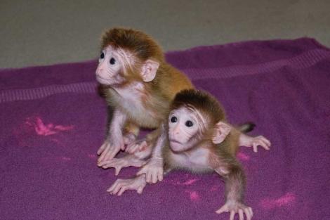 Los monitos 'Roku' y ' Hex', los primeros monos quiméricos. | EFE