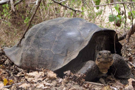 Un híbrido de tortuga de Floreana ('Chelonoidis elephantopus') y de tortuga de Isabela ('C. becky'). | Yale
