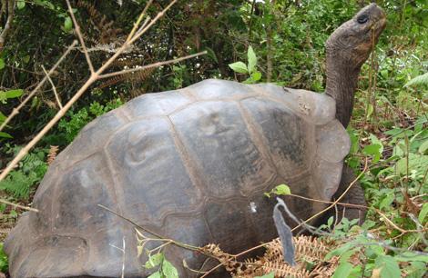 Un ejemplar puro de tortuga de Isabela ('Chelonoidis elephantopus'). Yale University