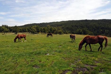 En todo el recorrido abunda el ganado suelto. | Marga Estebaranz