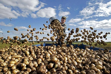 Un agricultor vuelca las patatas recién recogidas en un remolque.