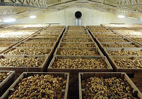 Patatas almacenadas en una nave agrícola.