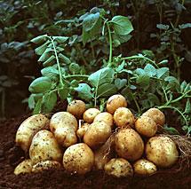 Una mata de patatas.