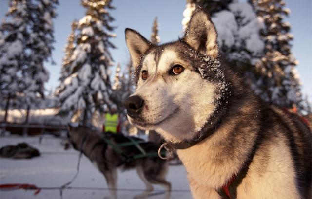 Huski siberiano preparado para tirar de un trineo en Laponia. | Roberto Iván Cano