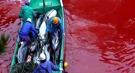 El fotograma muestra el agua teñida de rojo por la sangre de delfín. | 'Save Japan Dolphins'.