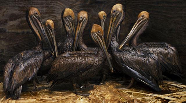 20 de junio de 2010, Fort Jackson. Pelícanos cubiertos de crudo aguardan para ser limpiados. © Daniel Beltrá para Greenpeace