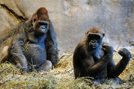 Dos gorilas en cautividad. | Alice Gray