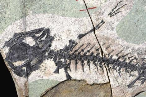 Fósil de la salamandra jurásica encontrada en Lianoning.| PNAS