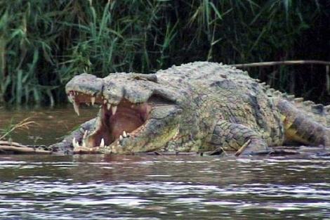 Un cocodrilo en el lago Tanganica. | J. Socías