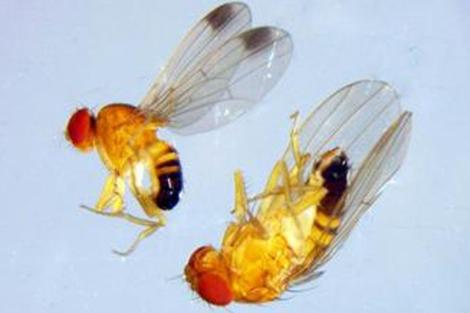 Ejemplares de Drosophila suzukii. | Gemma Calabria