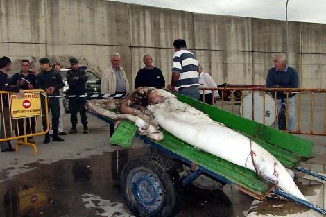 Desembargo de un calamar de tres metros hallado vivo en el puerto asturiano de Llanes. | Efe
