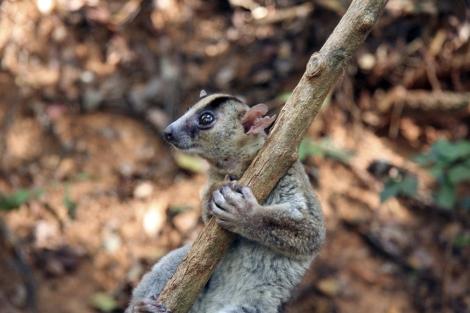 Un especie de lemur de Madagascar. | E.M.
