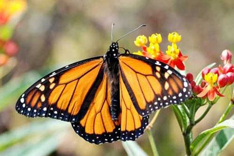 Un ejemplar de la colorida mariposa monarca en Cádiz. | E.M.
