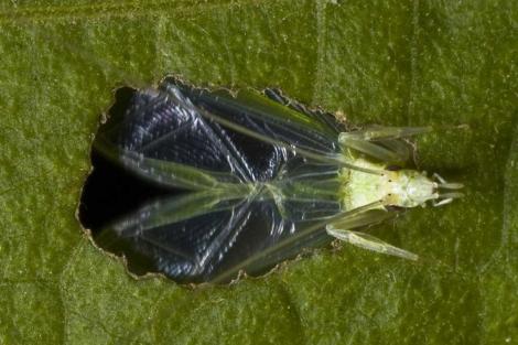 Uno de los grillos de la especie 'Oecanthus henryi' usados en el estudio.| PNAS