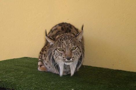 'Durillo', durante su recuperación en el centro de especies amenazadas de Huelva. | E.M.