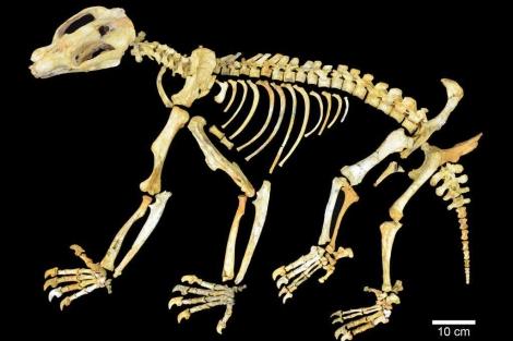 Esqueleto de 'Nimbadon lavarackorum'.   AFP