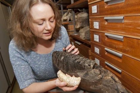 La investigadora Victoria Herridge con el molar del mamut enano y otro de tamaño normal. |Natural History Museum