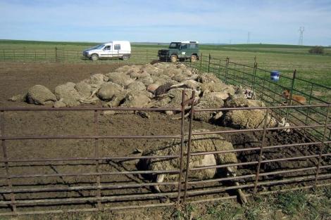 Montonera de ovejas muertas en el redil. | Ical