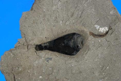 Bolsa de tinta de calamar gigante del Jurásico. |PNAS