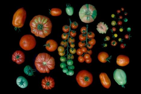 Diversas variedades de tomates. | CSIC