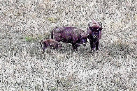 Bisontes europeos en San Cebrián de Mudá. | Brágimo