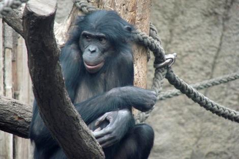 La bonobo Ulindi, cuyo ADN se usó para la investigación. | Nature