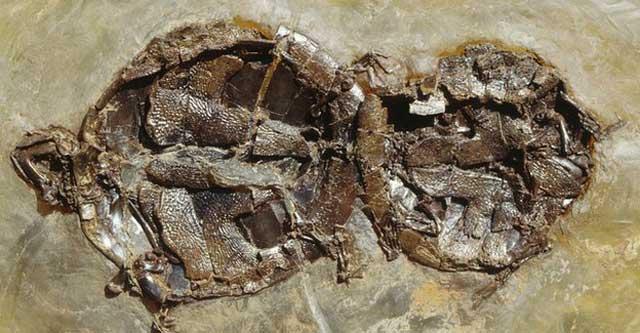 Fósil de una pareja de tortugas copulando. | Royal Society
